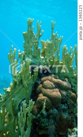 イシサンゴ目の写真素材 - PIXTA