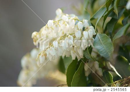ツツジ目ツツジ科 壷形 白い花 ...