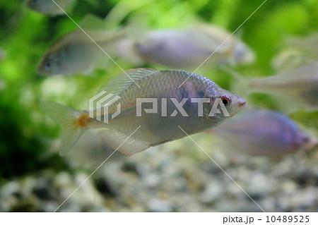 バラタナゴ属の写真素材 - PIXTA