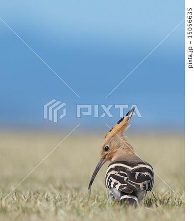 サイチョウ目の写真素材 - PIXTA