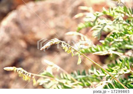 イワオウギ属の写真素材 - PIXTA