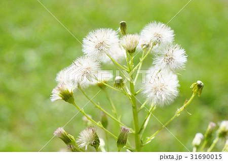 フキ綿毛の写真素材 - PIXTA
