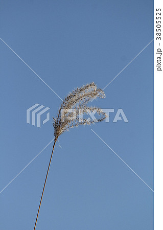 穎果の写真素材 - PIXTA