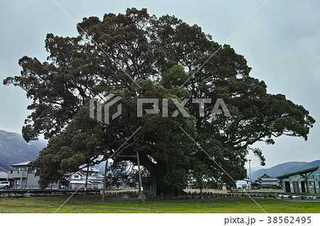 加茂の大楠の写真素材 Pixta