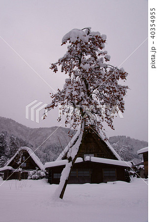 カキノキ目の写真素材 - PIXTA