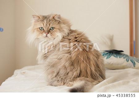 ペルシャ猫の写真素材 , PIXTA