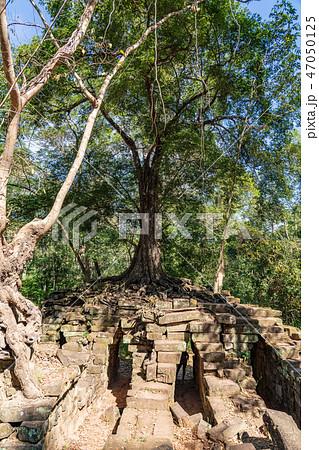 大樹 廃墟 アンコール ラピュタの写真素材 - PIXTA